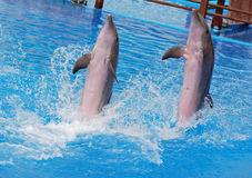 Dolphins show Stock Image
