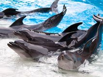 Dolphins show Royalty Free Stock Photos