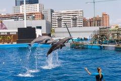 Dolphins Show Stock Photos