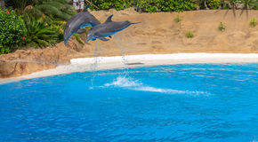 Dolphins in a Show Stock Image