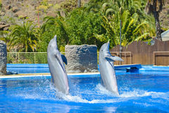 Dolphins show at animal park in Gran Canaria, Spain Royalty Free Stock Photography
