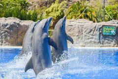 Dolphins show at animal park in Gran Canaria, Spain Stock Image