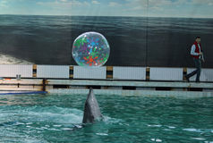 A dolphins show in the dolphinarium pool. St.Petersburg, Russia. Royalty Free Stock Image