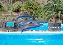 Dolphins show with jumping dolphins. Four jumping bottlenose dolphins in a show of dolphins - Palmitos Park - Maspalomas - Gran Canaria royalty free stock photos