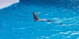 Dolphins show in the zoo Royalty Free Stock Photo