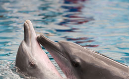 Dolphins showing their love for each other Stock Image