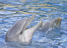 Dolphins smiling. Two dolphins smiling and playing in the water Royalty Free Stock Image