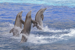 Dolphins standing out of the water Stock Photos