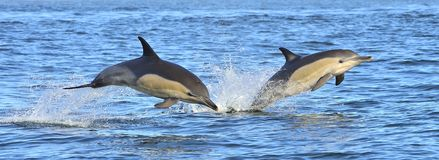 Free Dolphins Swim And Jumping Out From The Water. Royalty Free Stock Photography - 108348047