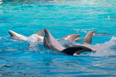 Dolphins swim on the back of the park Overseas Riccione, Italy Royalty Free Stock Image