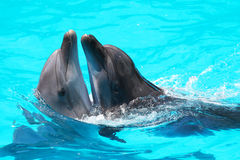 Dolphins swim in the blue water of the pool Stock Photo