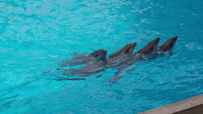 Dolphins Swim Each Other. Trained dolphins jumping in the pool stock footage