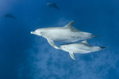 Dolphins swim free in the ocean