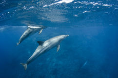 Dolphins swim free in the ocean Royalty Free Stock Photos
