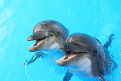 Dolphins swim in the pool. Two dolphins swim in the pool stock image