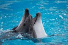 Dolphins swim in the pool Stock Photos