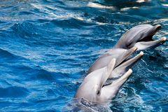 Dolphins swim in the pool Royalty Free Stock Photo