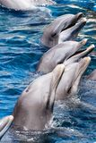 Dolphins swim in the pool Royalty Free Stock Image