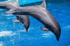 Dolphins swim in the pool Royalty Free Stock Photography