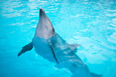 Dolphins swim in the pool Stock Image