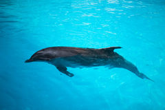 Dolphins swim in the pool Stock Images