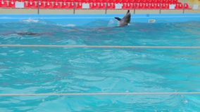 Dolphins Swim In The Pool stock footage