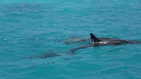 Dolphins swim on the surface of the water. Indian Ocean video. Horizontal stock video footage