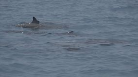 Dolphins swim on the surface of the water. Indian Ocean video. Low contrast, desaturate. Horizontal stock video footage