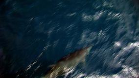 Dolphins swim underwater in front of ship in Pacific Ocean. Kind cheerful group of animals in blue water. Unique view from yacht. Beautiful amazing video of stock video footage