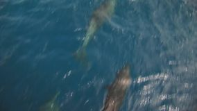 Dolphins swim underwater in front of ship in Pacific Ocean. Kind cheerful group of animals in blue water. Unique view from yacht. Beautiful amazing video of stock footage