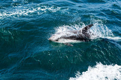 Dolphins swimming Stock Photo