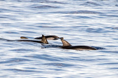 Dolphins while swimming in the deep blue sea Royalty Free Stock Image