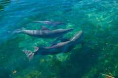 Dolphins swimming. Royalty Free Stock Photo