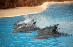 Dolphins swimming fast Stock Photography