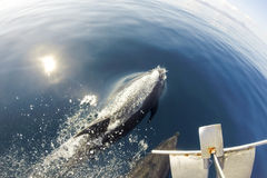 Dolphins swimming in front of the boat in the blue sea Stock Images