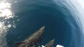 Dolphins swimming in the Galapagos Islands stock footage