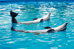 Dolphins swimming on its back in pool Royalty Free Stock Photography
