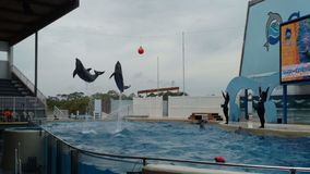 Dolphins swimming and jumping in a large pool. Soaring into the air and doing flips under a buoy stock photos