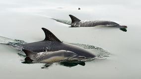Dolphins, swimming in the ocean. Dolphins (Delphinus capensis) swimming in the ocean Stock Photography