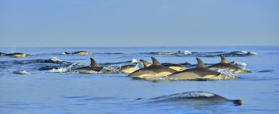 Dolphins, swimming in the ocean. Stock Photos