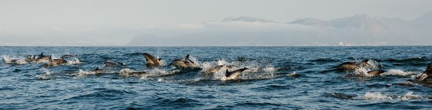 Dolphins, swimming in the ocean Royalty Free Stock Photography