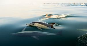 Dolphins, swimming in the ocean. Group of dolphins, swimming in the ocean Stock Photography