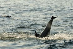 Dolphins, swimming in the ocean  and hunting for fish. Royalty Free Stock Photos