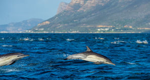 Dolphins, swimming in the ocean and hunting for fish. The jumping dolphins comes up from water. The Long-beaked common dolphin sc Royalty Free Stock Images