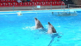 Dolphins swimming in the pool stock video footage
