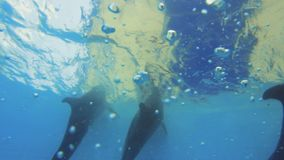 Dolphins Swimming Queue Up Underwater. Dolphins swimming queue up during performance. Three frames stock video footage