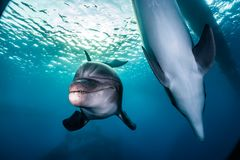 Dolphins swimming in the Red Sea, Eilat Israel Royalty Free Stock Images