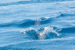 Dolphins swimming in a sea Stock Images