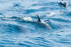 Dolphins swimming in a sea Royalty Free Stock Images