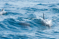 Dolphins swimming in a sea Royalty Free Stock Photography